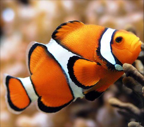 """Алмазная вышивка-мозаика """"Рыбка клоун"""" (200х180 мм) — фото, картинка"""